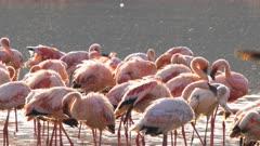 close up of backlit lesser flamingos bathing at lake bogoria, kenya