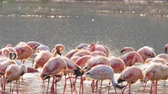 water spray flies as lesser flamingos bath at lake bogoria, kenya