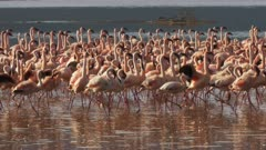 close up of lesser flamingos marching together on the shore of lake bogoria in kenya