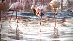 close up of three lesser flamingos preening their feathers at lake bogoria in kenya
