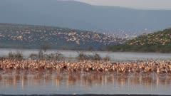 wide shot of a flock of lesser flamingos taking flight lake bogoria, kenya