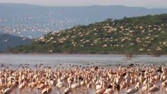 lesser flamingos huddled together on the shoreline at lake bogoria in kenya