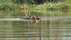an african hippopotamus submerges itself in lake baringo, kenya