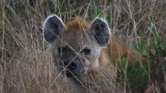 close up of a female hyena in masai mara game reserve, kenya
