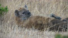 a female hyena feeding her young in masai mara game reserve, kenya