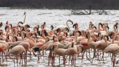 three greater flamingos among a flock of lesser flamingos at lake bogoria in kenya
