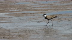 a spur winged plover feeds on the mud flats at lake bogoria in kenya