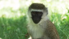 close up of the face of a vervet monkey at lake bogoria in kenya