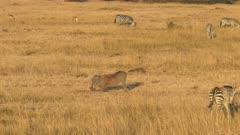wide view of a feeding warthog in masai mara national park, kenya