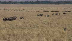 lines of wildebeest walk towards the mara river on their annual migration in masai mara, kenya