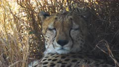 extreme close up of the face of a cheetah lying in the shade at masai mara game reserve, kenya