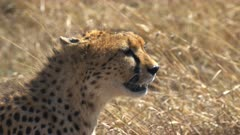 close up of a sitting cheetah looking to the right in masai mara game reserve, kenya