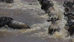 large crocodile attacking adult wildebeest crossing the mara river in masai mara game reserve, kenya