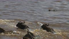tracking shot of a large crocodile attacking and killing a young wildebeest crossing the mara river in maasai mara national park, kenya
