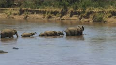wide shot of an elephant herd crossing the mara river in masai mara game reserve, kenya