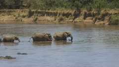 long shot of a herd of elephants starting to crossing the mara river in masai mara game reserve, kenya