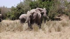 elephant herd feeding on grass in masai mara national park, kenya