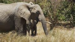 a herd of elephants feeding in masai mara game reserve, kenya