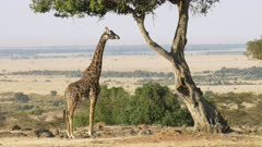 wide shot of a giraffe chewing acacia leaves in masai mara game reserve, kenya