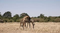 wide view of male giraffes necking in masai mara game reserve, kenya