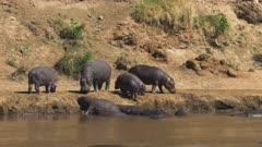 hippopotamus herd on mara river bank in masai mara game reserve, kenya