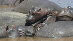 hippos piled on top of each other sunbathing in mara river at masai mara game reserve, kenya