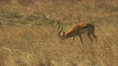 tracking shot of an impala walking in masai mara game reserve, kenya
