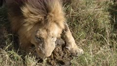 high angle close up of a male lion appearing to eat elephant dung in masa mara national park, kenya