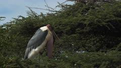 close up of a marabou stork standing at the top of a tree at lake bogoria, kenya