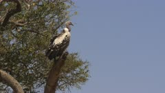 wide shot of a ruppell's vulture on tree in masai mara game reserve, kenya