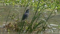 striated heron standing on reeds at lake baringo, kenya