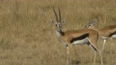 a thompson's gazelle buck grooming in masai mara game reserve, kenya
