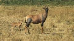 topi antelope and baby in masai mara game reserve, kenya