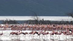 wide view of flamingos appearing to march at lake bogoria in kenya