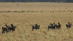 medium view of wildebeest walking in masai mara game reserve on their annual migration