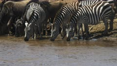 three zebra drinking from mara river in masai mara game reserve, kenya