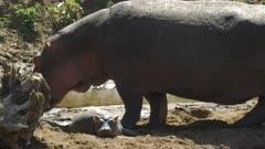 a baby hippo laying on a beach of the mara river in masai mara national park, kenya