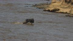 a crocodile unsuccessfully attacks several adult wildebeest in the mara river of maasai mara game reserve, kenya