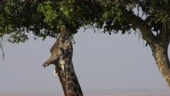 close up of a giraffe feeding on acacia leaves in masai mara game reserve, kenya