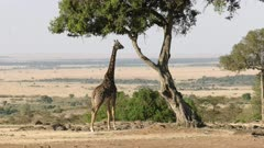 wide view of a giraffe feeding on an acacia tree in masai mara reserve, kenya