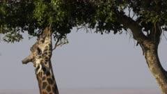 close up of a giraffe using its tongue to feed in masai mara game reserve, kenya
