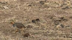 pair of harlequin quail  in masai mara reserve, kenya- recorded at 60fps