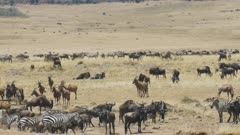 wildebeest, zebra and topi antelope at the mara river in masai mara game reserve