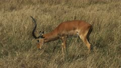 a male impala stops grazing and looks to the right in masai mara game reserve, kenya
