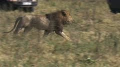 a male lion flees his rivals in masai mara game reserve, kenya