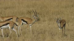 a thompson gazelle buck and several does in masai mara game reserve, kenya