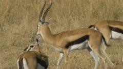 thompson gazelle buck facing the camera turns and walks right in masai mara game reserve, kenya