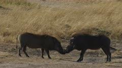 pair of warthogs face each other in masai mara national park, kenya