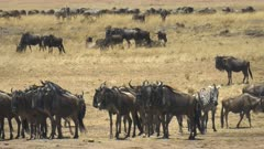 wildebeest herd  gathering at the mara river in masai mara game reserve, kenya