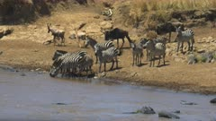 long shot of zebra drinking from the mara river in masai mara game reserve, kenya